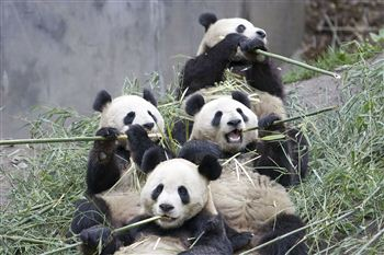 01 Pandas eating bamboo
