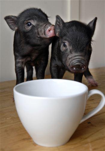 Polbeth Piglets