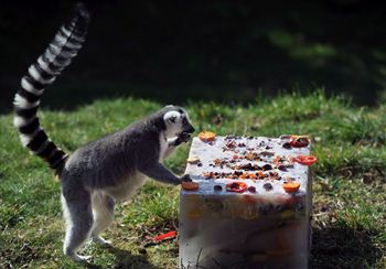 Lemurs tuck into their birthday cake