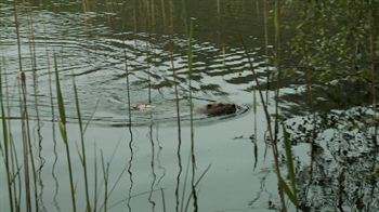 Beaver swimming with tag visible