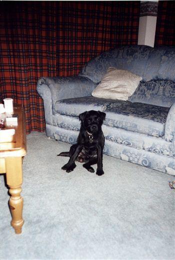 Pip - Border Terrier