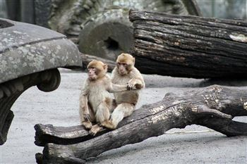 03 barbary macaques holding hands edinburgh zoo (Medium)