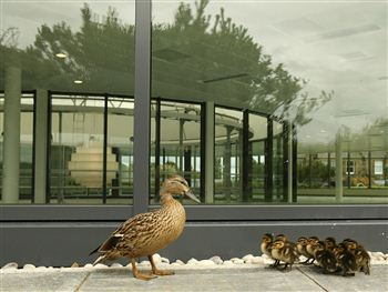 Standard Life Ducks