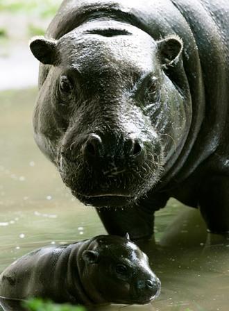 Hippo03jpg web
