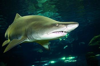 Tinkerbell the Shark