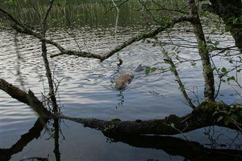 Beaver 2