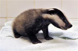 Lost Badger