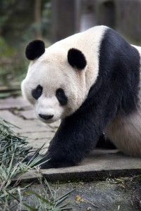 A CCTV feed will aoow people to view the male panda Yang Guang