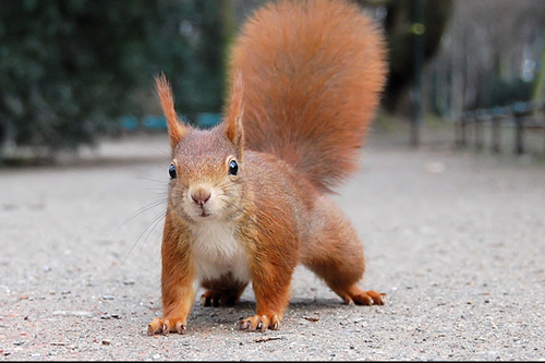 Red squirrel fans are lobbying to have the mammal named as Scotland's favourite native animal