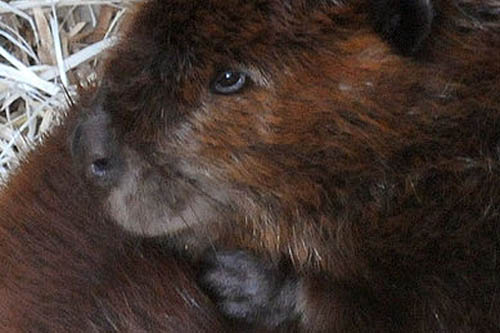 beavers wide