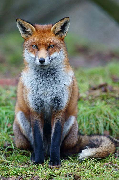 Urban foxes are the prime suspects for the strange activity