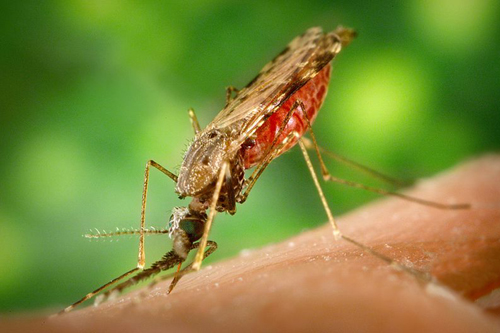 Malaria is a mosquito-borne disease