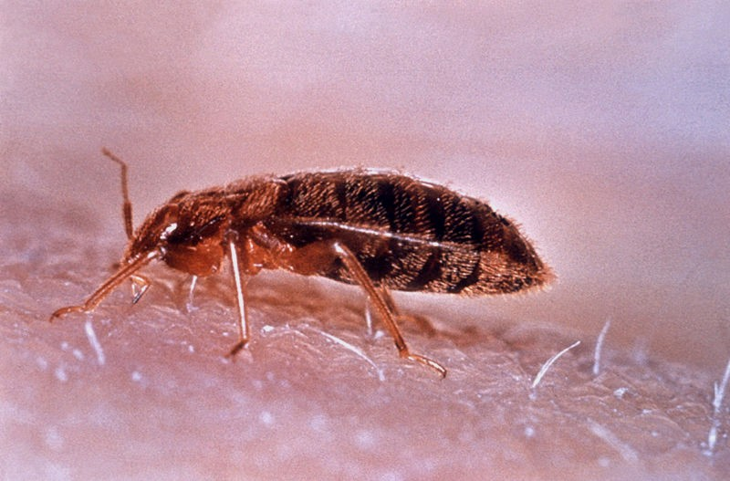 Hum Bug Mutant Bed Bugs Refuse To Be Shifted Deadline News