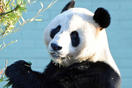 Yang Guang (pictured) and his mate Tian Tian will celebrate their first Scottish birthday this August