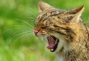 Wildcat yawn