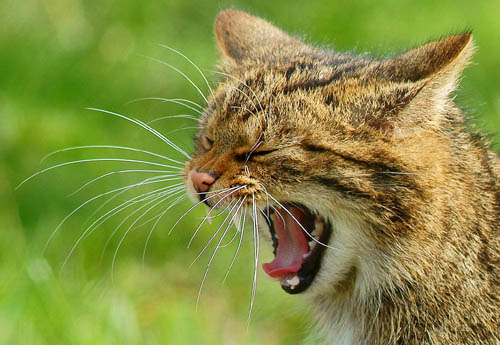 Feral cats and hybrids will be relocated from the safe havens under the plan