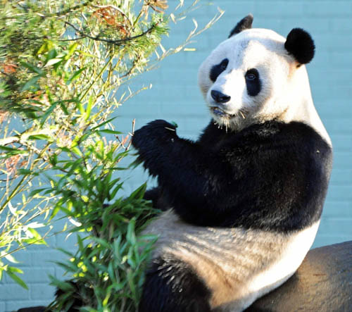 A German scientist predicted Tian Tian would give birth on August 31st 2014