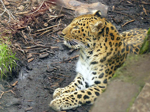 Visitors have complained about the leopard's pacing but the zoo says it is normal behaviour