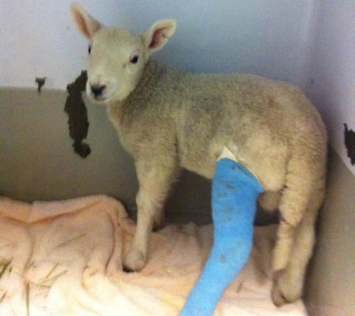 Larry the lamb suffered a fractured leg after being struck by a car and driven 25 miles trapped in the bumper.