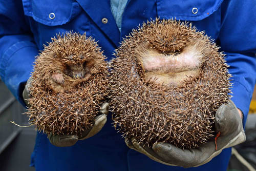 At her most podgy, Edinburgh weighed five times more than slimline hedgehogs