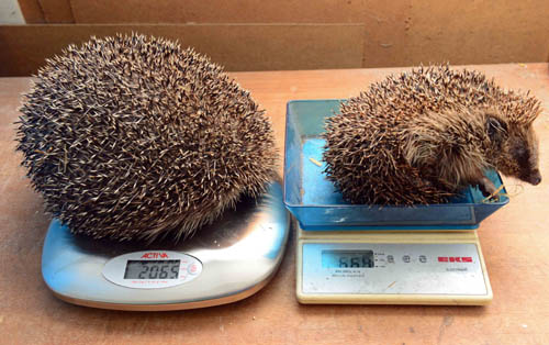 Edinburgh tipped the scales at 2.3KG in May but has slimmed down to just above   2KG.