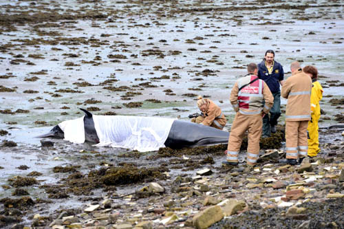Rescuers battled for hours to save the young female minke