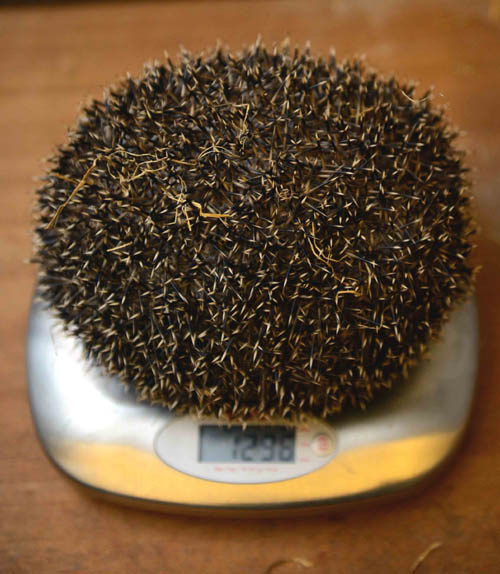 SCOTLANDÕS fattest hedgehog has shed almost half her bodyweight after being put on a diet by an animal rescue centre.