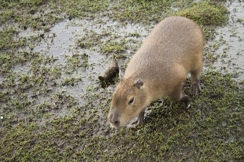 The zoo is home to capybaras, a species of large rodents