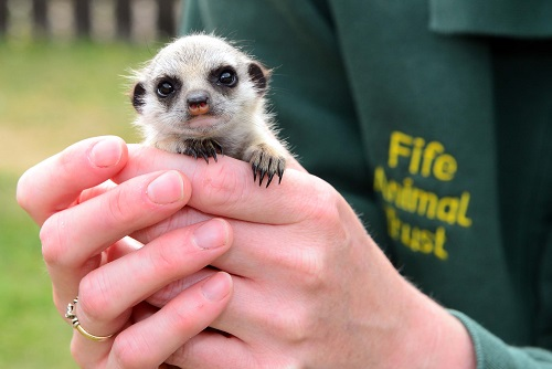 This hand-reared meerkat also calls the park home
