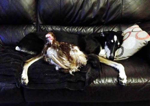 Maisie Goodchicken cuddles up with Colin, Fiona's pet dog