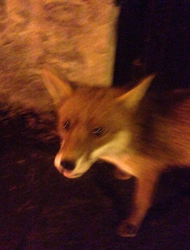 The fearless fox approached the Still Game star on Monday morning