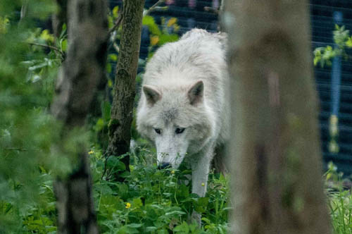 Artic Wolves arrive in West Lothian