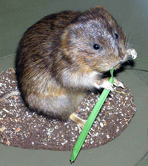 A water vole. Pic: Bristol Museum