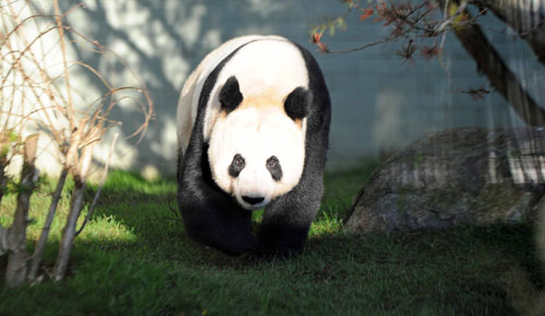 "Edinburgh Zoo confirmed its female panda was no longer pregnant, warning something was ""amiss."""