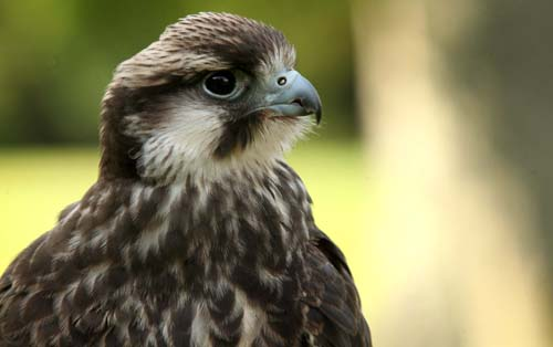 Police initially thought the hens were birds of pray like this Lanner Falcon
