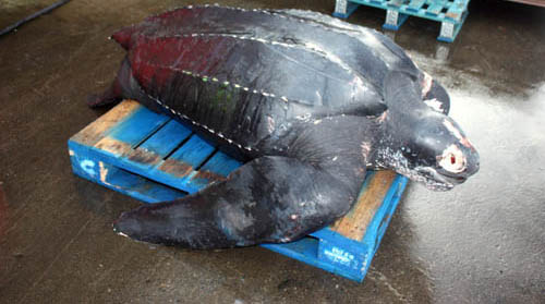 Leatherback turtles are the largest living turtles and are protected endangered species