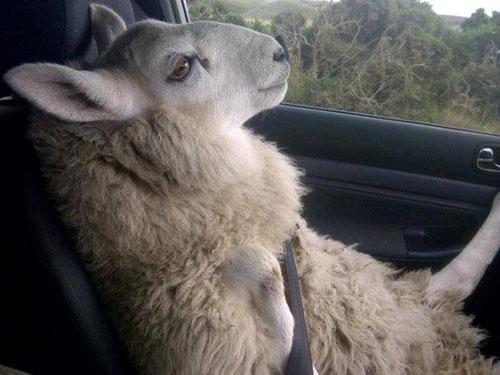 SHEEP_01