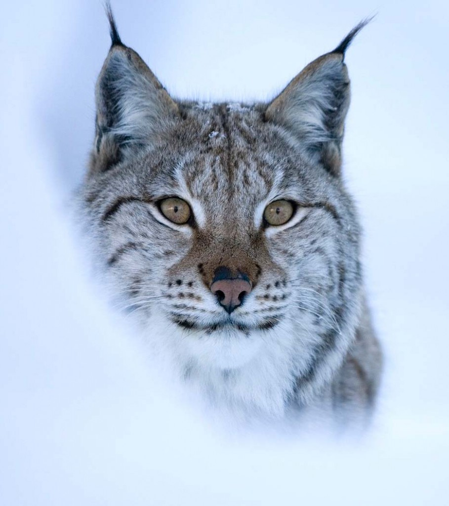 Conservatioists believe lynx could be the answer to deer overpopulation in Scotland.