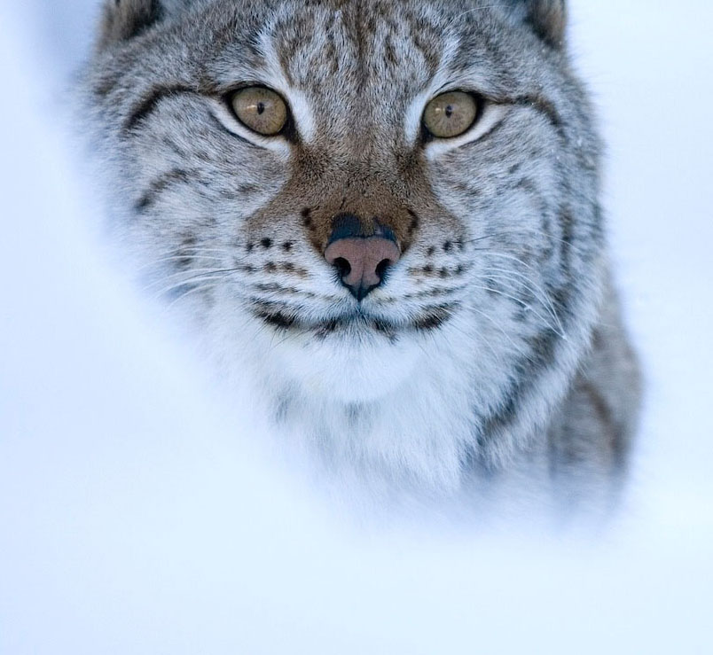 THE Lynx Effect Could Be The Answer To Deer Overpopulation