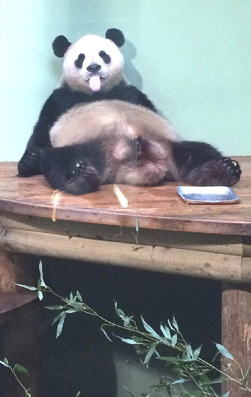 Tian Tian looked on Sunday morning like she'd had a heavy Saturday night.