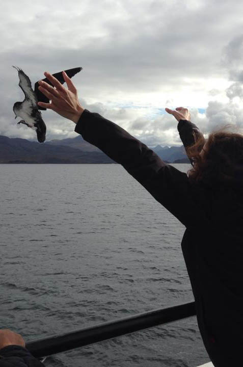 A volunteer releases a chick from the deck of the ferry