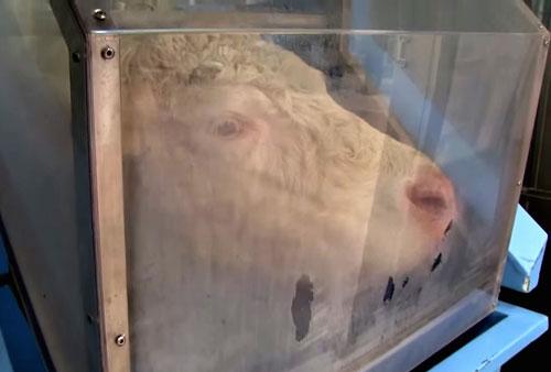 A cow inside one of the Hoko feeders