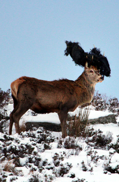 This stag seems to have invented the deer equivalent of a takeaway