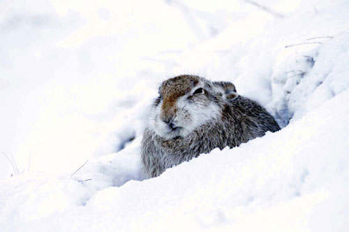 The hare was found in blizzard conditions
