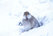 Scotland's-mountain-hares-getting-extra-legal-protection