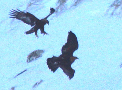 The trained eagle ended up crashing into the snow