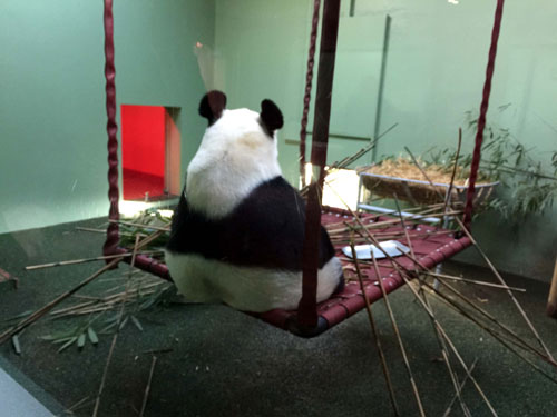 Tian Tian, the female panda, could be seen sitting quietly in the enclosure opposite