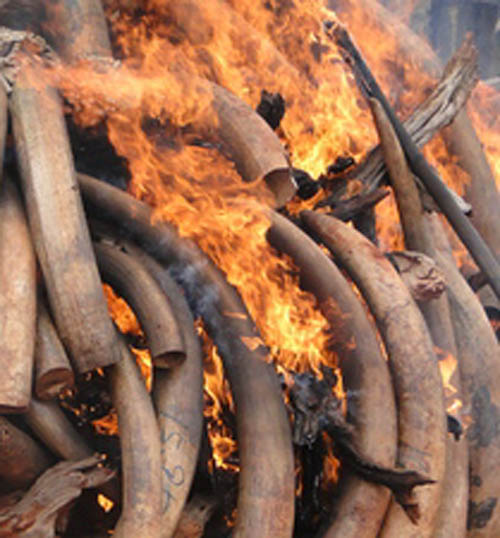 The president of Malawi will burn four tonnes of ivory