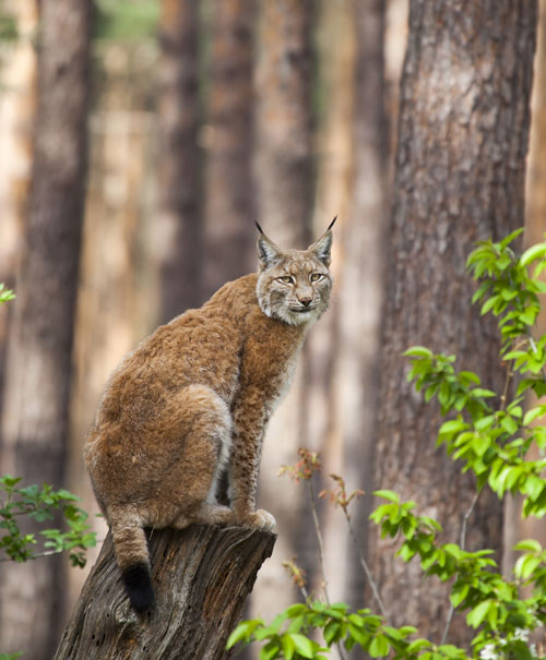 "Both beautiful and likely to help manage the deer population, lynx could be coming back to the UK if the ""rewilding"" scheme goes ahead. Photo by: Erwin van Maanen"