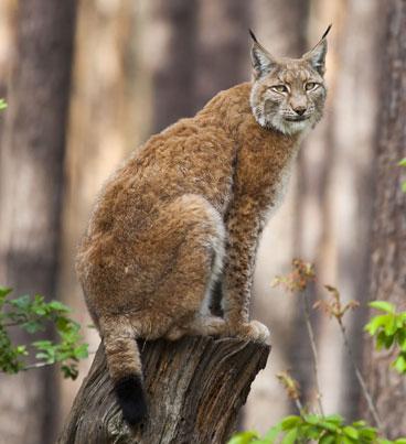 Lynx-by-Erwin-van-Maanen